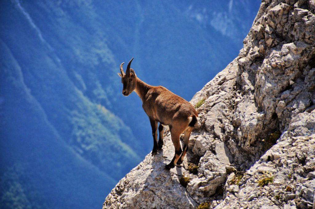 Alpski kozorog (Capra Ibex) na policah Montaža. Avtor: Matjaž Sušnik
